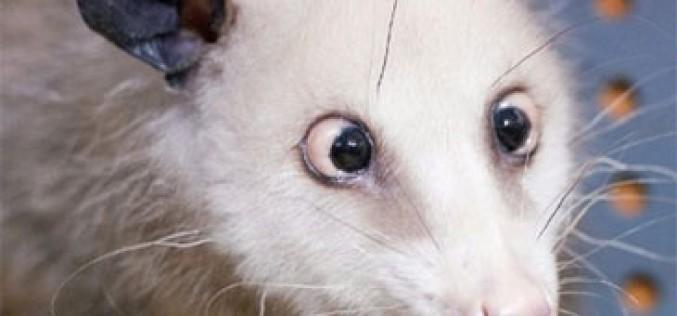 La zarigüeya bizca se asoma al zoo de tarifas de Pepephone
