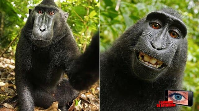 [Llamada de atención] ¿Quién le iba a decir a este pobre macaco que su autofoto daría tanto de qué hablar?