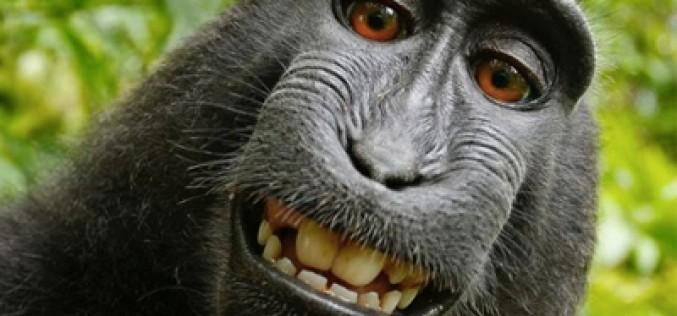 Wikipedia defiende los derechos de un mono y su selfie