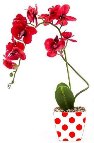 orquídea roja de Pepephone